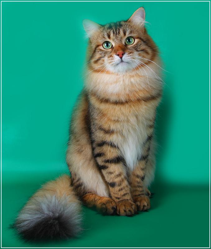 купить сибирского котёнка
