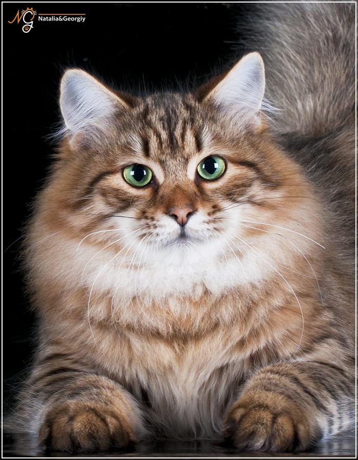 белье, синтетическое, кошка для вязки сибирский кот этого следует