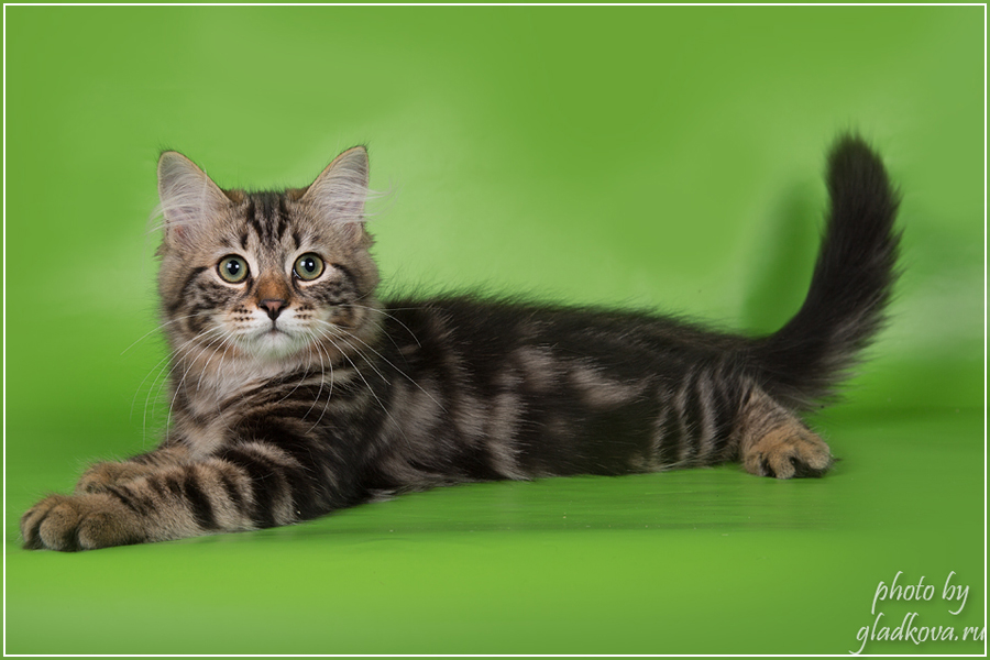 качестве кошка для вязки сибирский кот термобелье стоит хорошем
