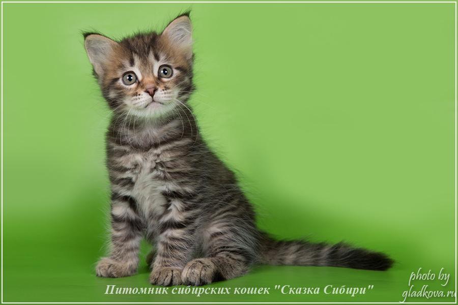 Купить сибирского котёнка c окрасом n-22