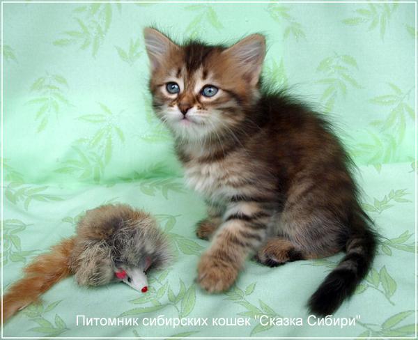 того, кошка для вязки сибирский кот Термобелье флис сочитаются