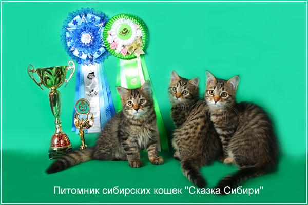 С кем вязать сибирскую кошку