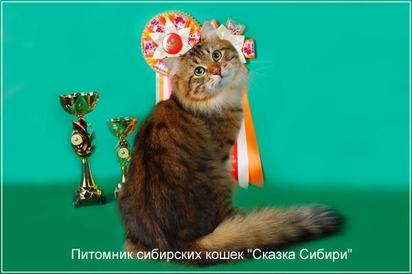 кошка для вязки сибирский кот вид