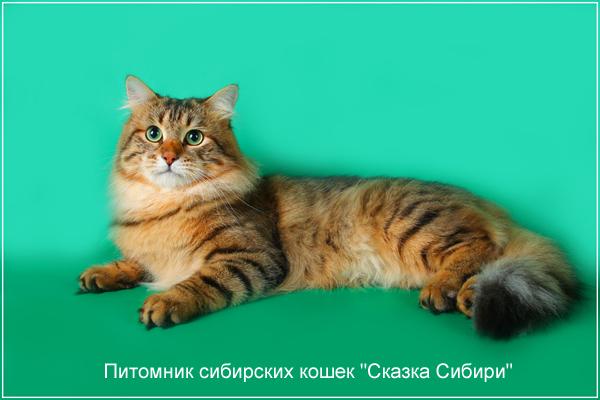 сибирский кот для вязки